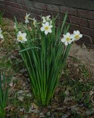 narcissus_poeticus_plant